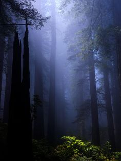 Spotlight On the Rhododendron  ~    Sunlight breaks through the fog at Redwood National Park in the Spring of 2007.