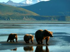 Watching bears in Alaska