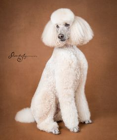 Louie, photographed at an event to benefit NorCal Poodle Rescue.
