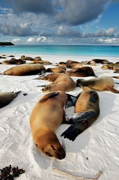 The perfect afternoon? Watching Sea Lions lounge in the white sands of the Galapagos Islands. #LiveIntrepid