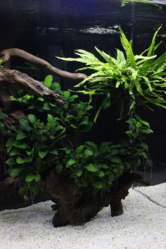 Beautiful nano tank. I love how dense the java fern and especially the anubias are in this aquascape.