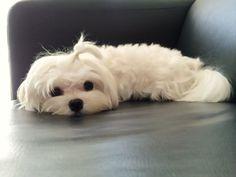 Maltese ~ 12 months old #dogawesomeideas