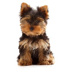 Yorkshire Terrier ❤ liked on Polyvore featuring animals, dogs, pets, puppies, animali and filler