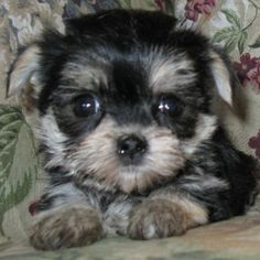 MORKIES are the adorable result of breeding a purebred Yorkshire Terrier with a purebred Maltese. The result is a designer dog you just might...