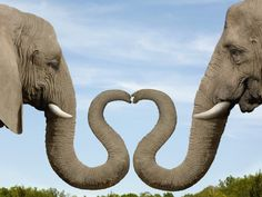 Elephants Making Heart Shape with Trunks - Image by Dianna Sarto/Corbis