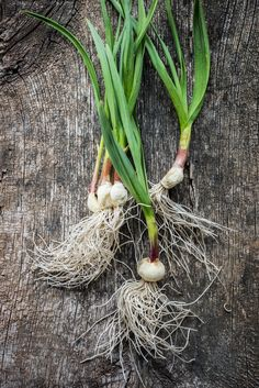 Book // Garden // Garlic // Gastro Garlic, Book, Plants, Books, Livres, Flora, Plant, Libri, Planting
