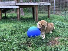 Big Cat Updates are ready!  https://bigcatrescue.org/march-4-2017/Nikita sure likes her new blue ball !