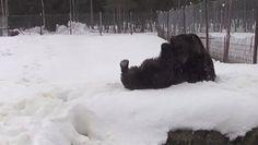 Taiteilijana tunnettu Juuso-karhu ja muut Kuusamon suurpetokeskuksen nallet ovat vauhdissa talviunien jälkeen tuoreessa videossa.