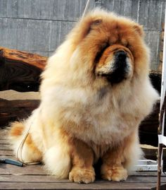 "Chow - Chow...Dog, ""which kissed the sky ..."""
