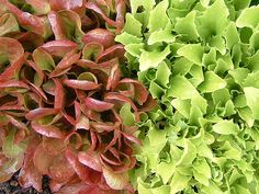 Lettuces colors are welcome in the winter garden.    Photo by bcballard under the Creative Commons Attribution License 2.0.Click To Enlarge