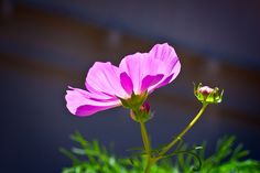 Just cosmos :)