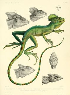 Image result for lily scientific illustration 1800s