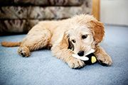 I think Berk needs a brother or a sister...Goldendoodle would be perfect!