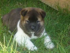 "Akita as a ""cub"" : ) and grows to be a ""bear""...know and understand the breed and you'll always have one in your life : )"