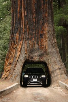 Jeep Grand Cherokee coming through the Red Wood Forest - not exactly a…