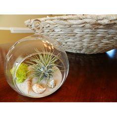 Pretty air plant for your desk! #Terrarium