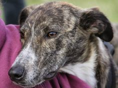 Week 161′s Dogs of the Week is… Roger! #rescue #Lurcher #Roger #dogoftheweek #pedlars