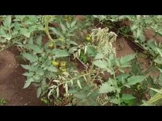 Musca minieră,imagini cu atacul,explicații - YouTube Gardening, Youtube, Plants, Lawn And Garden, Plant, Youtubers, Youtube Movies, Planets, Horticulture