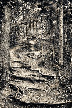 Percy Warner Park Trail in Nashville, Tn. I LOVE photographing root covered trails.... there's just something in their shape.