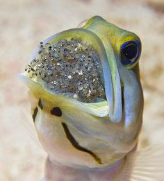 Yellowhead Jawfish photo from Little Cayman Island, incubates and aerates the female's eggs in his mouth for about a week. These eggs are about to hatch - notice the tiny embryos and their eyes. -for EPA Earth Day by JimC_1946, via Flickr