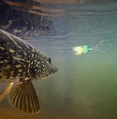What a fantastic article about how to fly fish for pike! Matt Hayes' Guide to Fly Fishing Guide for Pike will guide you through all the important facts you will need to know why trying to land a massive pike on the fly!