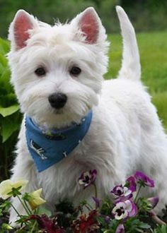 5 Most Hidden Facts About Westie Puppies … [Exclusive westie terrier, westies dogs, westies tattoo Westie Puppies, Westies, Cute Puppies, Dogs And Puppies, Pet Dogs, Chihuahua Dogs, Beautiful Dogs, Animals Beautiful, Cute Animals