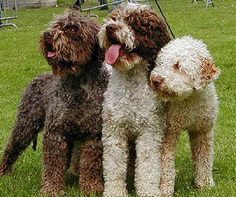 yes! Lagotto Romagnolo (Italian Truffle Dogs)