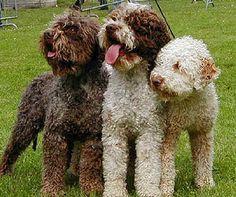 yes! Lagotto Romagnolo (Italian Truffle Dogs)