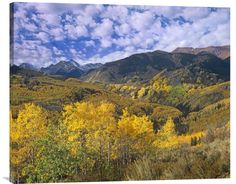 Quaking Aspen in Autumn, Colorado