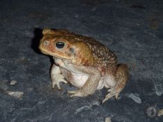 a cane toad stopped to pose for the camera one night in mayaro Trinidad
