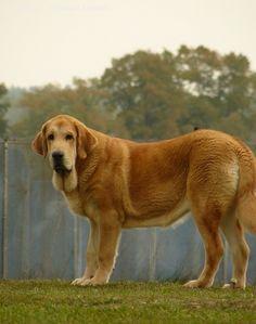 Spanish Mastiff pictures...I'm a big boy gruff