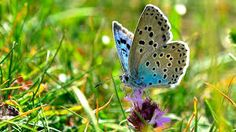 Large Blue Butterfly   https://www.youtube.com/watch?v=6Q-SC2VjHuo