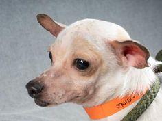 Adopt Heath, a lovely 1 year Dog available for adoption at Petango.com. Heath…