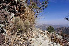Echinocereus russanthus subsp. weedinii, USA, Texas, Jeff Davis Co.  More Pictures at: http://www.echinocereus.de