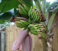 Robertas 2-pc. Fast Fruiting Grand Nain Banana Plant — QVC.com