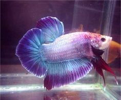 "Giant Betta: Giants bettas were genetically developed by Thai breeders (Mr. Athapon Ritanapichad, Mr. Natee Ritanapichad and Mr. Wasan Sattayapun) from large regular green Plakats...most breeders say they reach about...4"" BO. Today giants come in all fin types. http://www.bettafish.com/showthread.php?t=99066"
