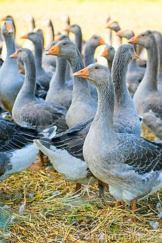 Gray geese....Grandma owned  geese and from that we got feather pillows and feather bed comforters. In the fierce cold we would sleep on one and have another one on top of us...:)
