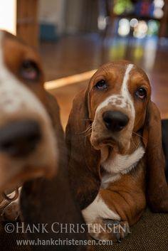 Basset Hound Puppies | Flickr - Photo Sharing!
