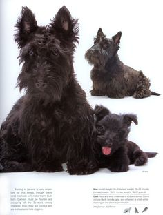 """See that mom """"Owners must be flexible and accepting of the Scotties stubborn nature"""" .... LOL"""
