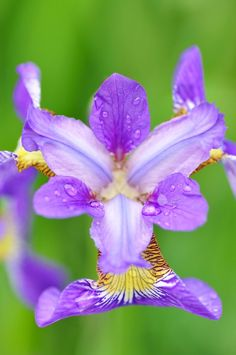 Love this iris.  Put with daffodils and it is the most beautiful arrangement