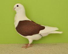 Dove Pigeon, Free Range, African, Birds, Colours, Animals, Fur Babies, Pakistan, Butterflies