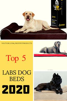 If you want to know Best Dog Beds For Labs 2020(Update Products) and amazon best Bed For Large Dogs,then this post may be for you. You can find labs best dog bed,and as a large dog,they have some special need.check the amazon best dog beds link. #amazon #dogbeds #largedogbeds #labsbed #ads Dog Beds For Small Dogs, Cool Dog Beds, Large Dogs, Labs, Pet Products, Amazon, Check, Animals, Big Dogs