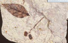 Miocene Nothofagus leaf and Allocasuarina fruits, New Zealand.