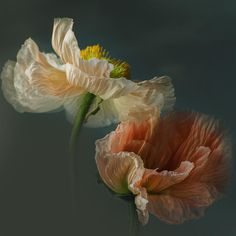 Poppies by Christine Ellger Art Floral, Fotografie Portraits, Botanical Art, Flower Art, Flower Power, Beautiful Flowers, Beautiful Pictures, Beautiful Artwork, Poppies