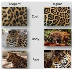 "#3 Difference between Jaguars & Leopards - Size - The leopard is considered the smallest of the four ""big cats."" The other three are the tiger, lion, and jaguar."
