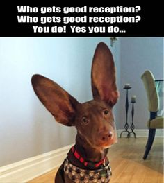 Funny Animal Pictures Of The Day - 24 Pics lol love them ears! Funny Dog Videos, Funny Animal Memes, Animal Quotes, Funny Animal Pictures, Funny Dogs, Funny Animals, Cute Animals, Animal Pics, Dog Pictures