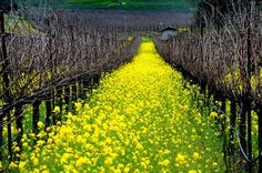It's possibly some of the most beautiful real estate in the United States: Napa Valley. Take a look at some fo the most lush landscapes in wine country. Places To Travel, Places To See, Travel Destinations, Lush, Mustard Flowers, In Vino Veritas, Mellow Yellow, Mustard Yellow, Napa Valley