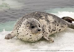 Spotted Seals
