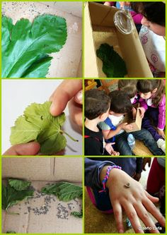 El blog de la Seño Carla: Proyecto Gusanos de Seda II - Silkworm work project II