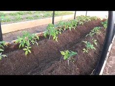 Первая подкормка и окучивание томатов открытого грунта. Для чего нужно о...